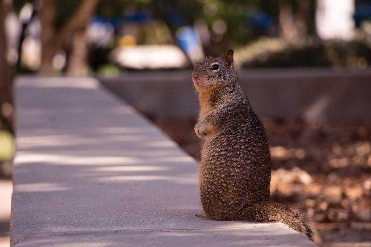 Squirrel population overruns CSUB