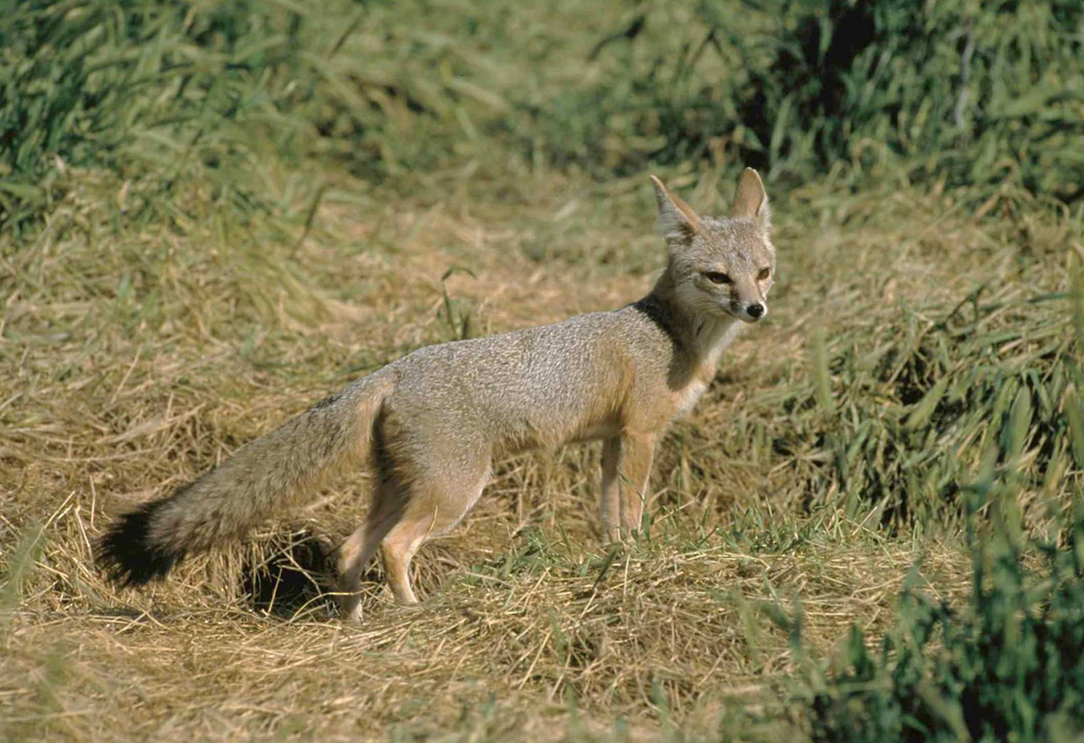 Mange outbreak threatens kit fox population